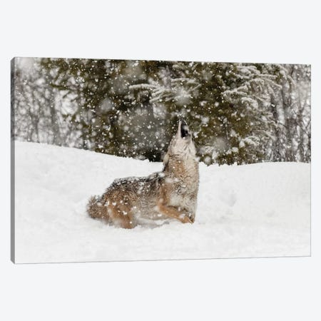 Coyote in snow, Montana II Canvas Print #AJO54} by Adam Jones Canvas Art