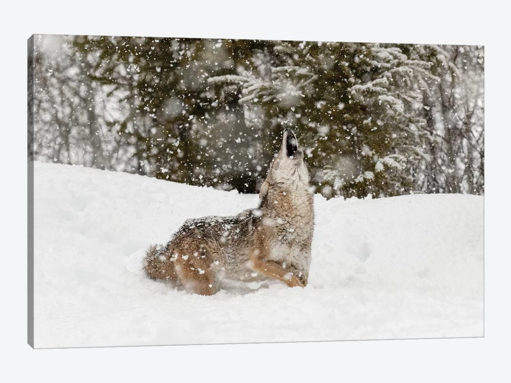 Coyote in snow, Montana II by Adam Jones 1-piece Canvas Art