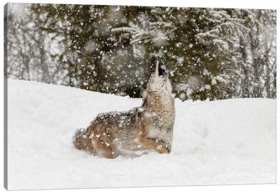 Coyote in snow, Montana II Canvas Art Print