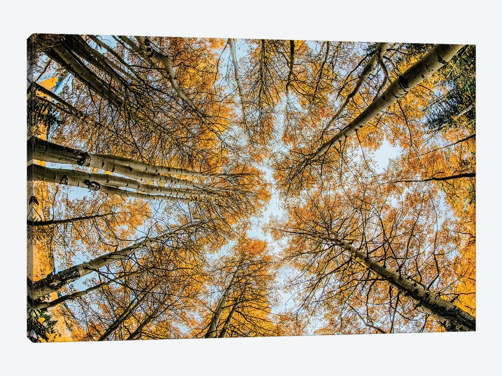 Fisheye view upward of aspen trees in fall, Uncompahgre National Forest, Colorado by Adam Jones 1-piece Canvas Artwork
