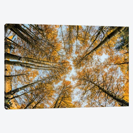 Fisheye view upward of aspen trees in fall, Uncompahgre National Forest, Colorado Canvas Print #AJO58} by Adam Jones Art Print