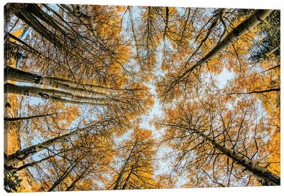 Fisheye view upward of aspen trees in fall, Uncompahgre National Forest, Colorado Canvas Art Print