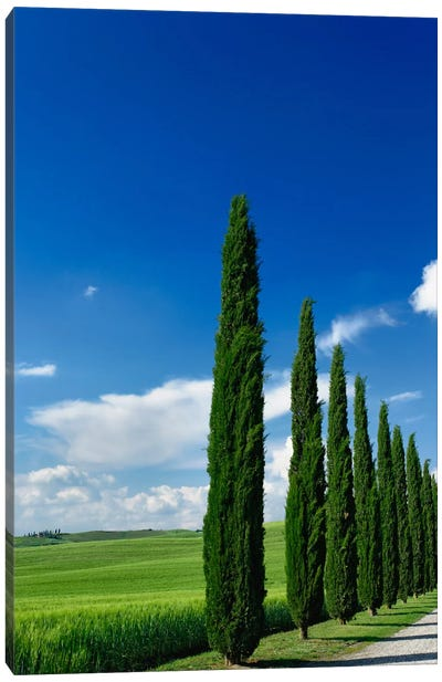 Line Of Cypress Trees, Tuscany Region, Italy Canvas Print #AJO5