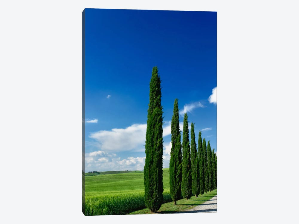 Line Of Cypress Trees, Tuscany Region, Italy by Adam Jones 1-piece Canvas Art Print