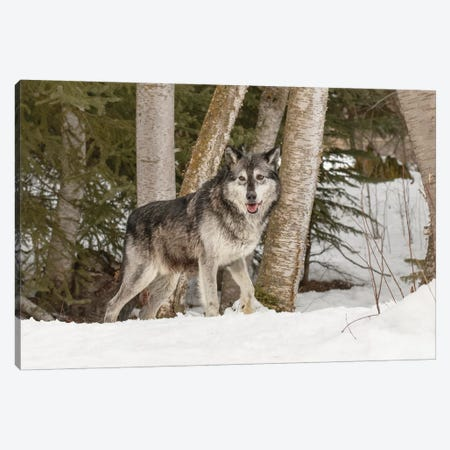 Gray Wolf Canis lupus, Montana Canvas Print #AJO60} by Adam Jones Canvas Wall Art