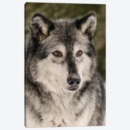 Gray Wolf in winter, Canis lupus, Montana Canvas Print #AJO61} by Adam Jones Canvas Artwork