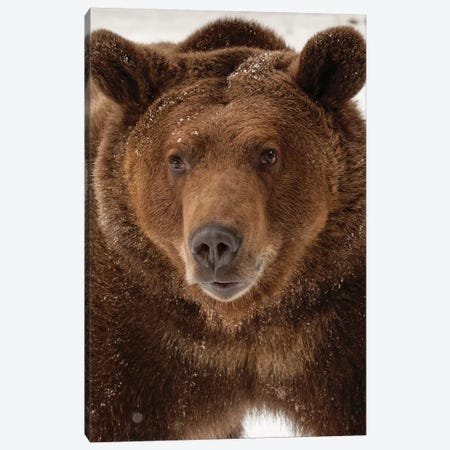 Grizzly Bear in winter, Ursus Arctos, Montana Canvas Print #AJO62} by Adam Jones Canvas Wall Art