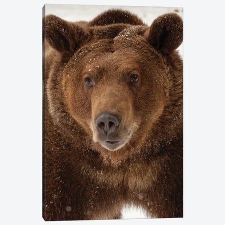 Grizzly Bear in winter, Ursus Arctos, Montana Canvas Print #AJO62} by Adam Jones Canvas Wall Art