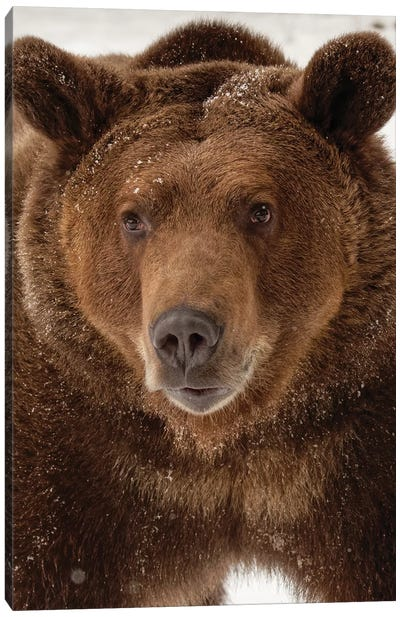 Grizzly Bear in winter, Ursus Arctos, Montana Canvas Art Print