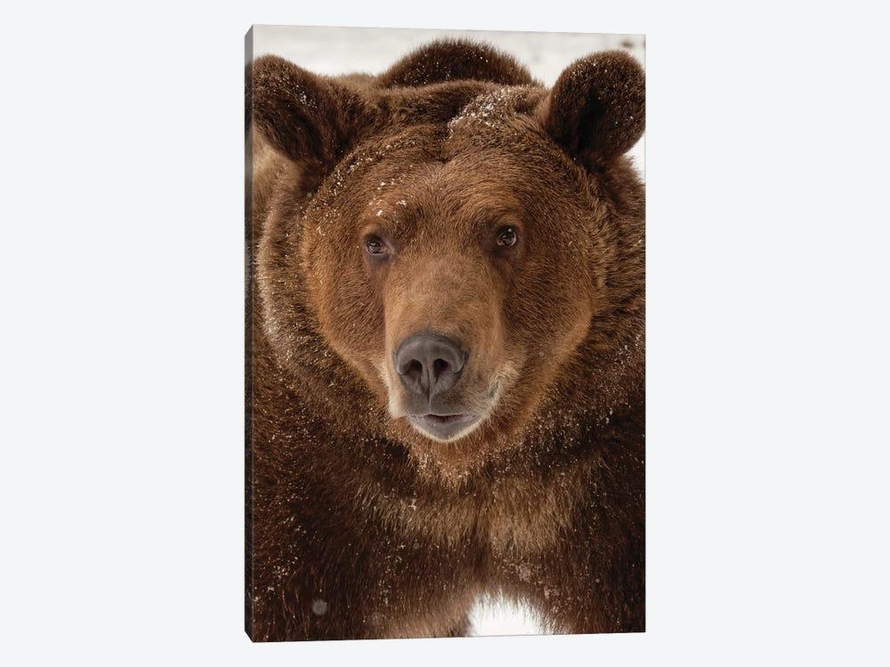 Grizzly Bear in winter, Ursus Arctos, Montana by Adam Jones 1-piece Art Print