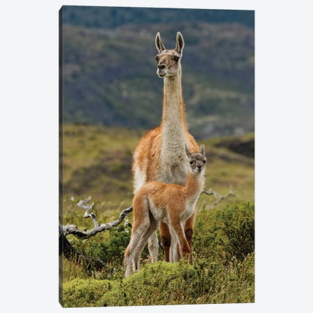 Guanaco and baby, Andes Mountain, Torres del Paine National Park, Chile. Patagonia Canvas Print #AJO63} by Adam Jones Canvas Art