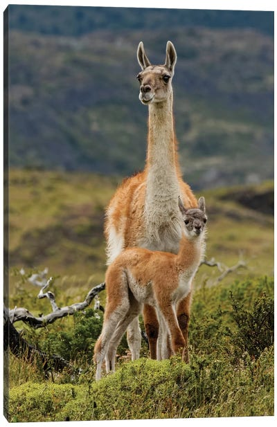 Guanaco and baby, Andes Mountain, Torres del Paine National Park, Chile. Patagonia Canvas Art Print