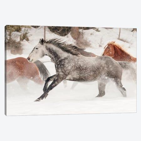 Horse roundup in winter, Kalispell, Montana. 3-Piece Canvas #AJO66} by Adam Jones Canvas Art Print