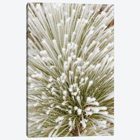 Pine bough with heavy frost crystals, Kalispell, Montana Canvas Print #AJO73} by Adam Jones Art Print