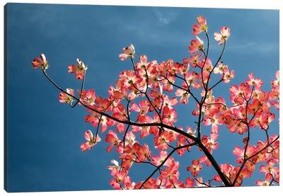 Pink dogwood tree against blue sky, Lexington, Kentucky Canvas Art Print
