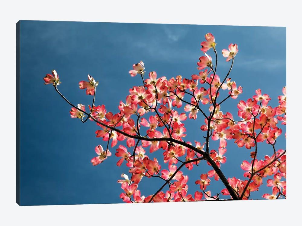 Pink dogwood tree against blue sky, Lexington, Kentucky by Adam Jones 1-piece Canvas Wall Art