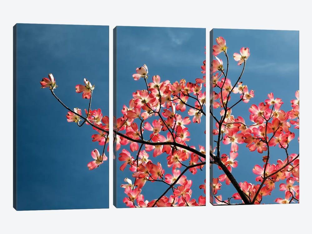Pink dogwood tree against blue sky, Lexington, Kentucky by Adam Jones 3-piece Canvas Wall Art