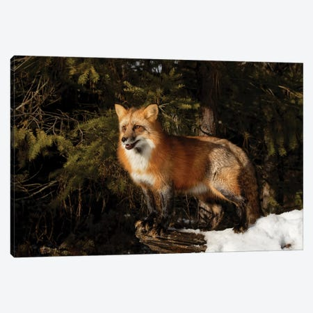 Red Fox in winter, Montana, Vulpes Vulpes Canvas Print #AJO75} by Adam Jones Canvas Artwork