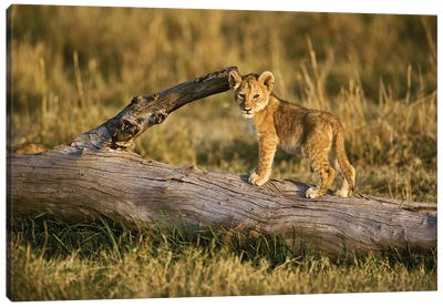 Lion Cub On Log, Masai Mara, Kenya Canvas Art Print