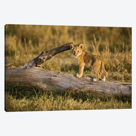 Lion Cub On Log, Masai Mara, Kenya Canvas Print #AJO91} by Adam Jones Canvas Art Print