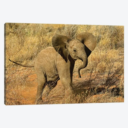 Baby African Elephant, Samburu Game Reserve, Kenya Canvas Print #AJO92} by Adam Jones Canvas Print
