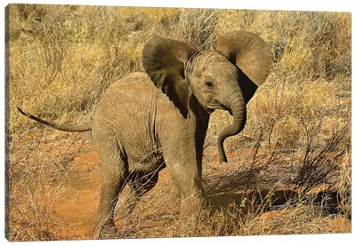 Baby African Elephant, Samburu Game Reserve, Kenya Canvas Art Print
