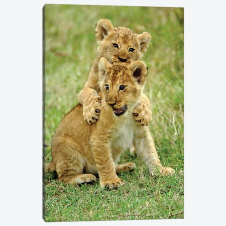 Pair Of Lion Cubs Playing, Masai Mara Game Reserve, Kenya Canvas Print #AJO93} by Adam Jones Canvas Print