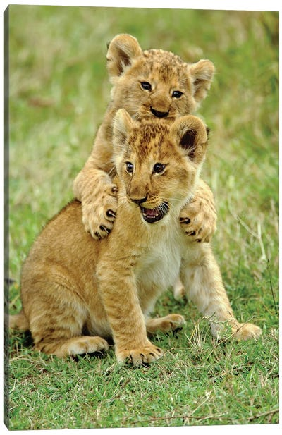 Pair Of Lion Cubs Playing, Masai Mara Game Reserve, Kenya Canvas Art Print