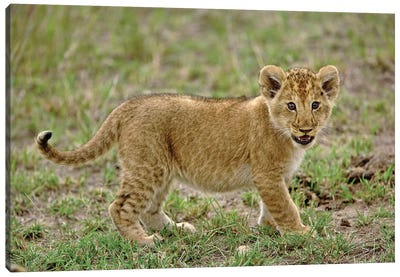 Young Lion Cub, Masai Mara Game Reserve, Kenya Canvas Art Print