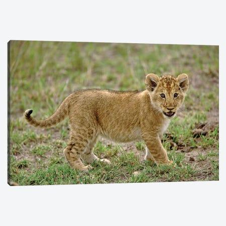 Young Lion Cub, Masai Mara Game Reserve, Kenya Canvas Print #AJO94} by Adam Jones Canvas Art