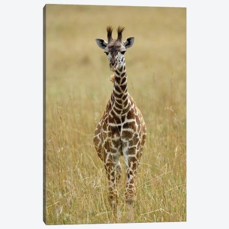 Baby Masai Giraffe, Masai Mara Game Reserve, Kenya Canvas Print #AJO97} by Adam Jones Canvas Artwork