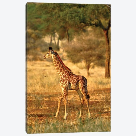 Juvenile Giraffe, Tarangire National Park, Tanzania Canvas Print #AJO98} by Adam Jones Art Print