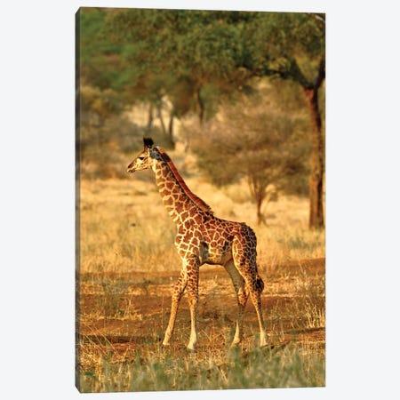 Juvenile Giraffe, Tarangire National Park, Tanzania Canvas Print #AJO98} by Adam Jones Art Print