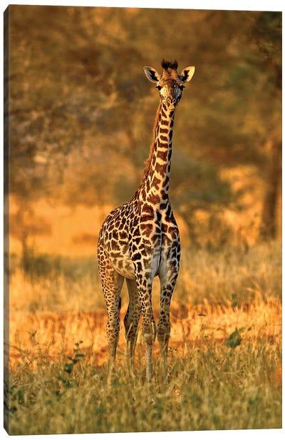 Juvenile Giraffe, Tarangire National Park, Tanzania Canvas Art Print