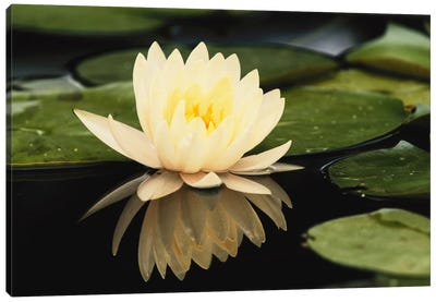 Domestic Water Lily, Louisville, Kentucky, USA Canvas Print #AJO9