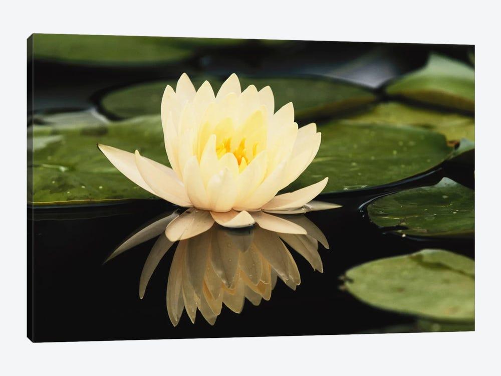 Domestic Water Lily, Louisville, Kentucky, USA by Adam Jones 1-piece Canvas Art Print