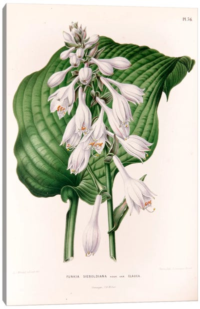 Funkia Sieboldiana (Plantain Lily) Canvas Art Print