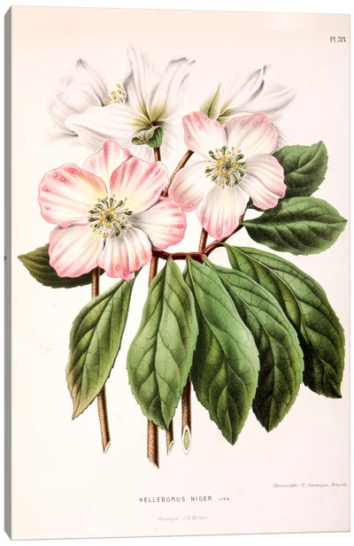 Helleborus Niger (Christmas Rose) Canvas Art Print