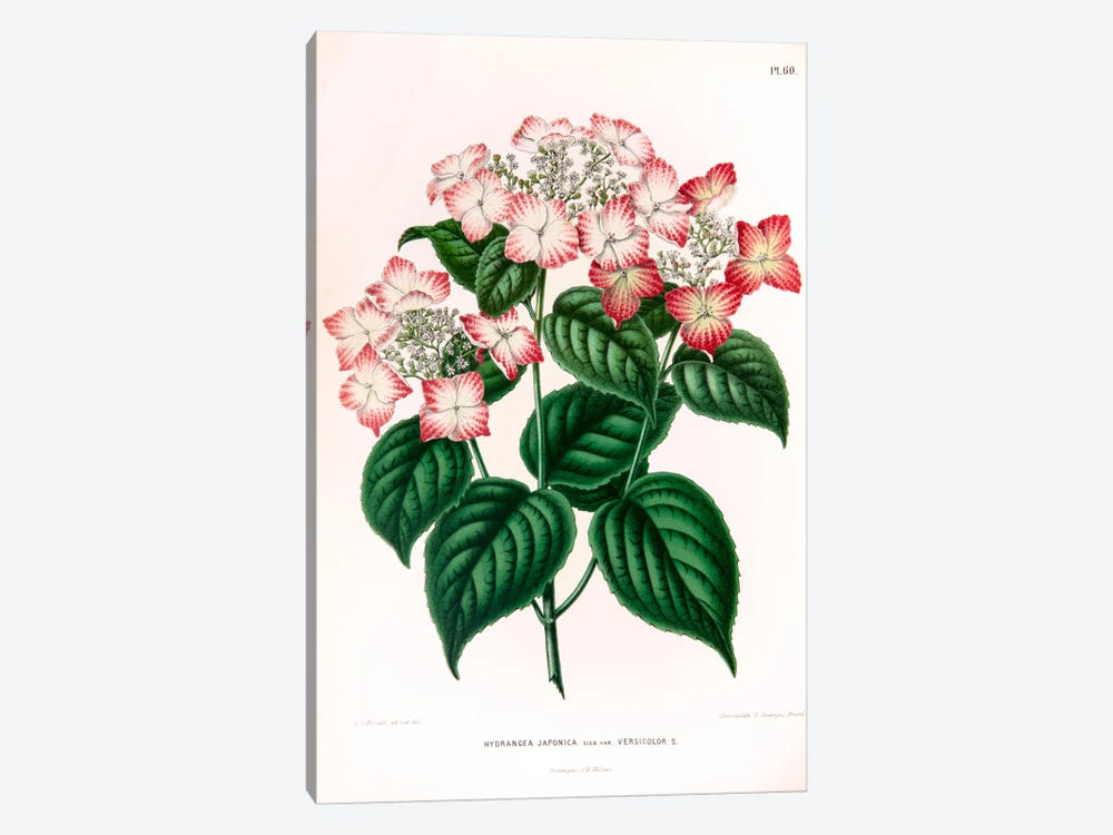 Hydrangea Japonica by Abraham Jacobus Wendel 1-piece Canvas Wall Art