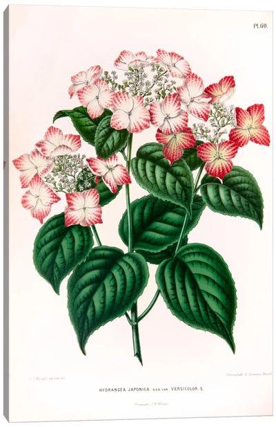 Hydrangea Japonica Canvas Art Print