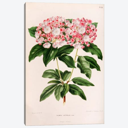 Kalmia Latifolia (Mountain Laurel) Canvas Print #AJW13} by Abraham Jacobus Wendel Art Print
