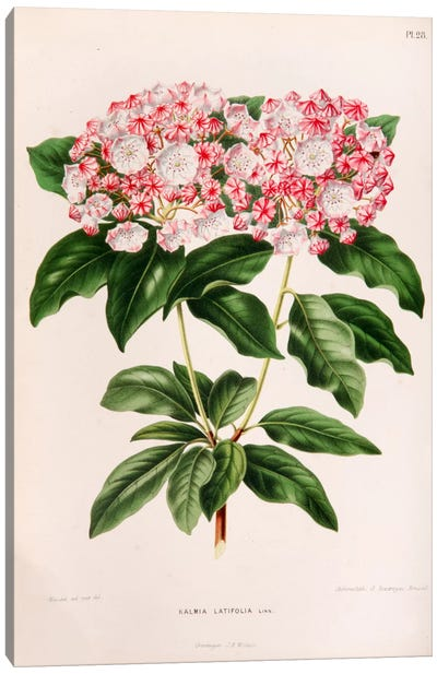 Kalmia Latifolia (Mountain Laurel) Canvas Art Print