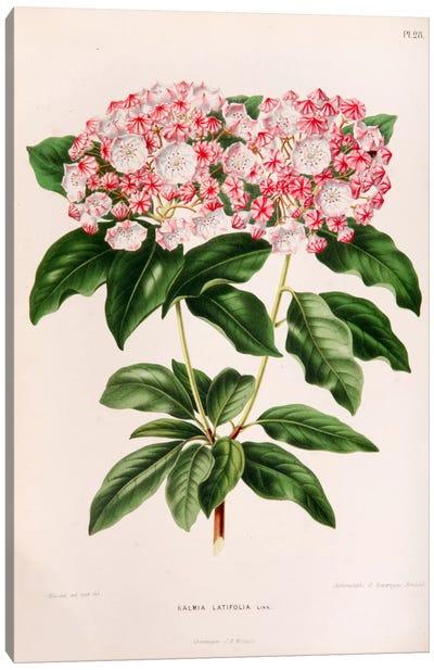 Kalmia Latifolia (Mountain Laurel) Canvas Art Print