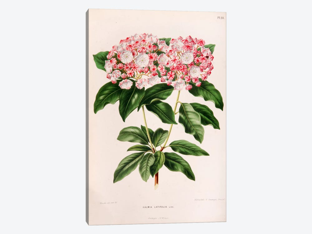 Kalmia Latifolia (Mountain Laurel) 1-piece Canvas Print