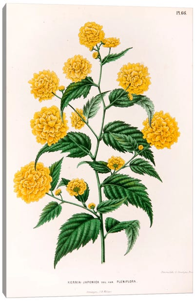 Kerria Japonica (Pleniflora) Canvas Art Print