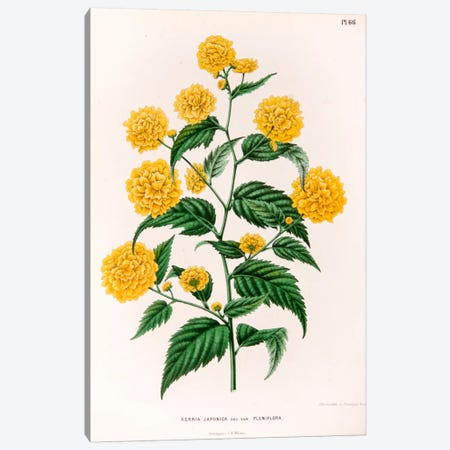 Kerria Japonica (Pleniflora) Canvas Print #AJW14} by Abraham Jacobus Wendel Canvas Artwork