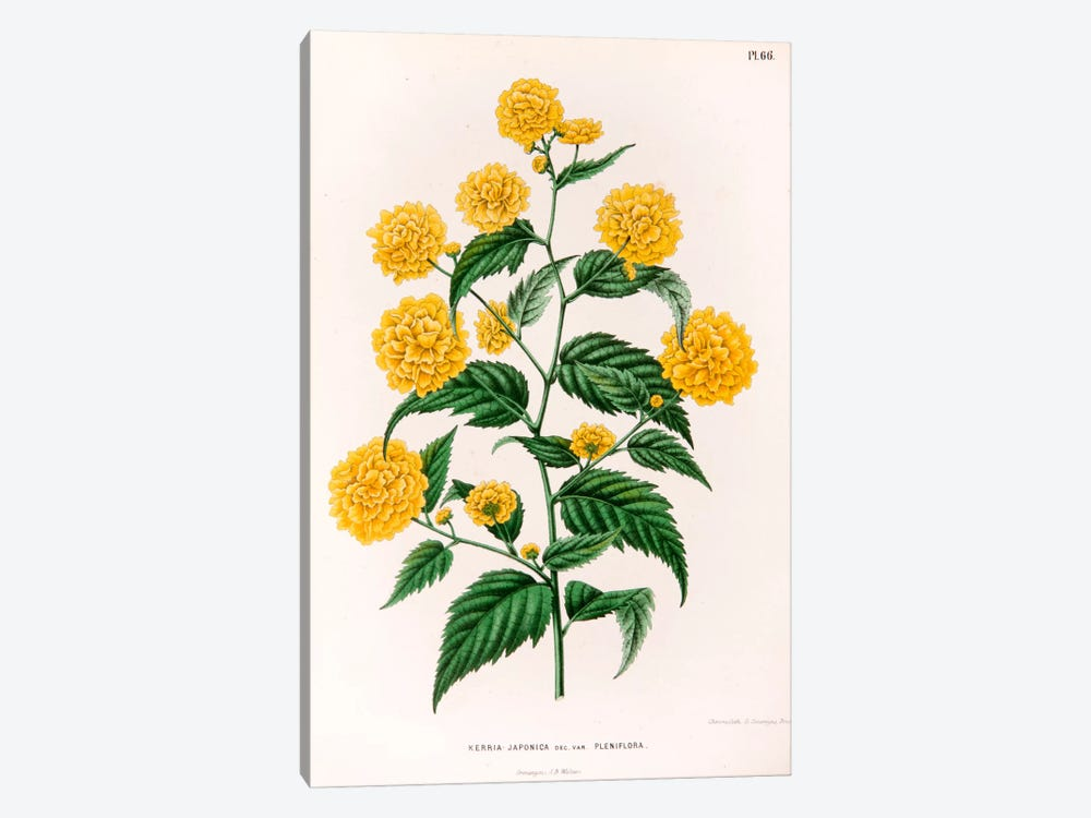 Kerria Japonica (Pleniflora) by Abraham Jacobus Wendel 1-piece Canvas Art