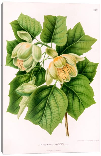 Liriodedron Tulipifera (Tulip Tree) Canvas Art Print