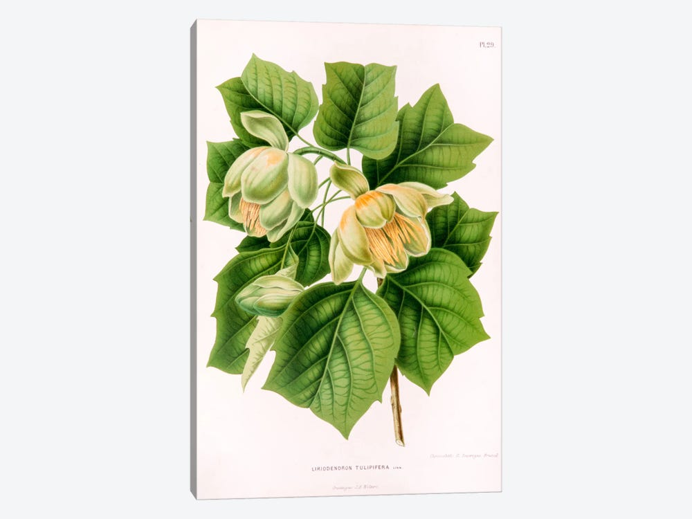 Liriodedron Tulipifera (Tulip Tree) by Abraham Jacobus Wendel 1-piece Canvas Art Print