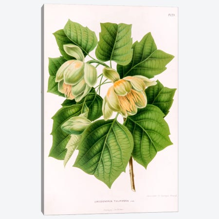 Liriodedron Tulipifera (Tulip Tree) 3-Piece Canvas #AJW15} by Abraham Jacobus Wendel Canvas Art